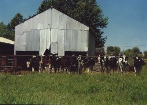My childhood; family's barn & holsteins