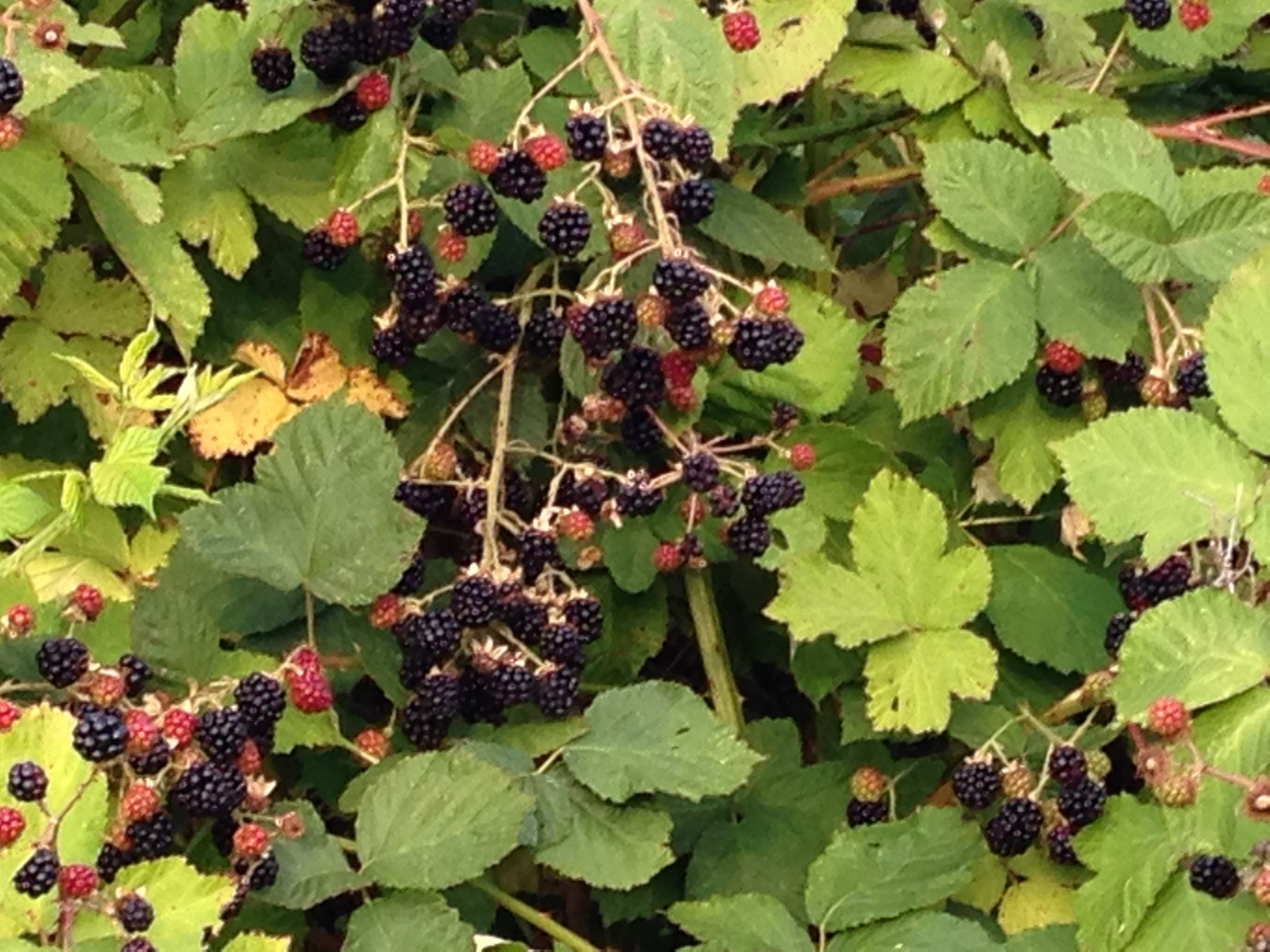 wild blackberries in the Northwest U.S.