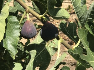 Germacrene D fraction and Fig Flavor